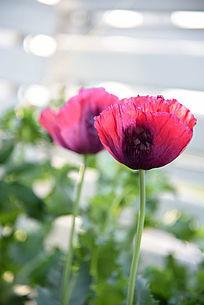 半透明红色罂粟花