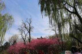 垂柳桃花大图背景