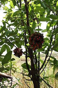 番石榴树上的藤生红豆