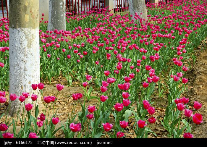 荷兰国花图片