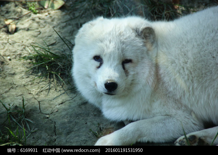 狐狸犬图片,高清大图_陆地动物素材