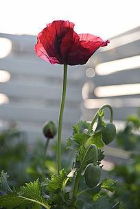 罂粟花及花苞