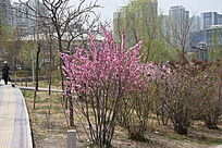 桃花树图片