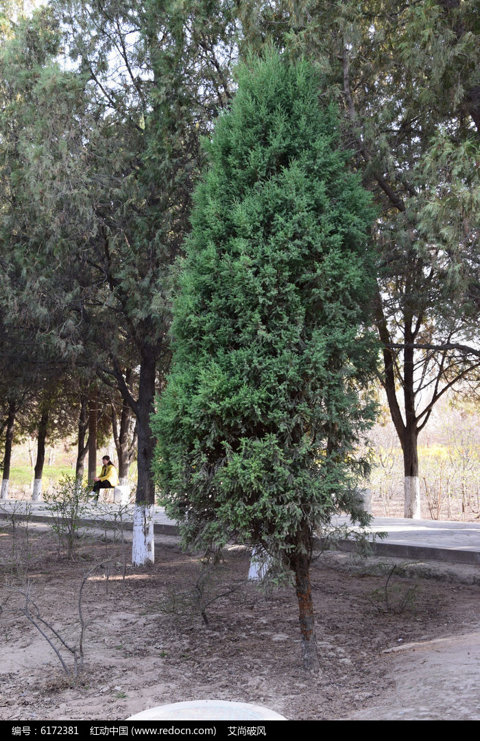 一颗松树图片图片,高清大图_树木枝叶素材