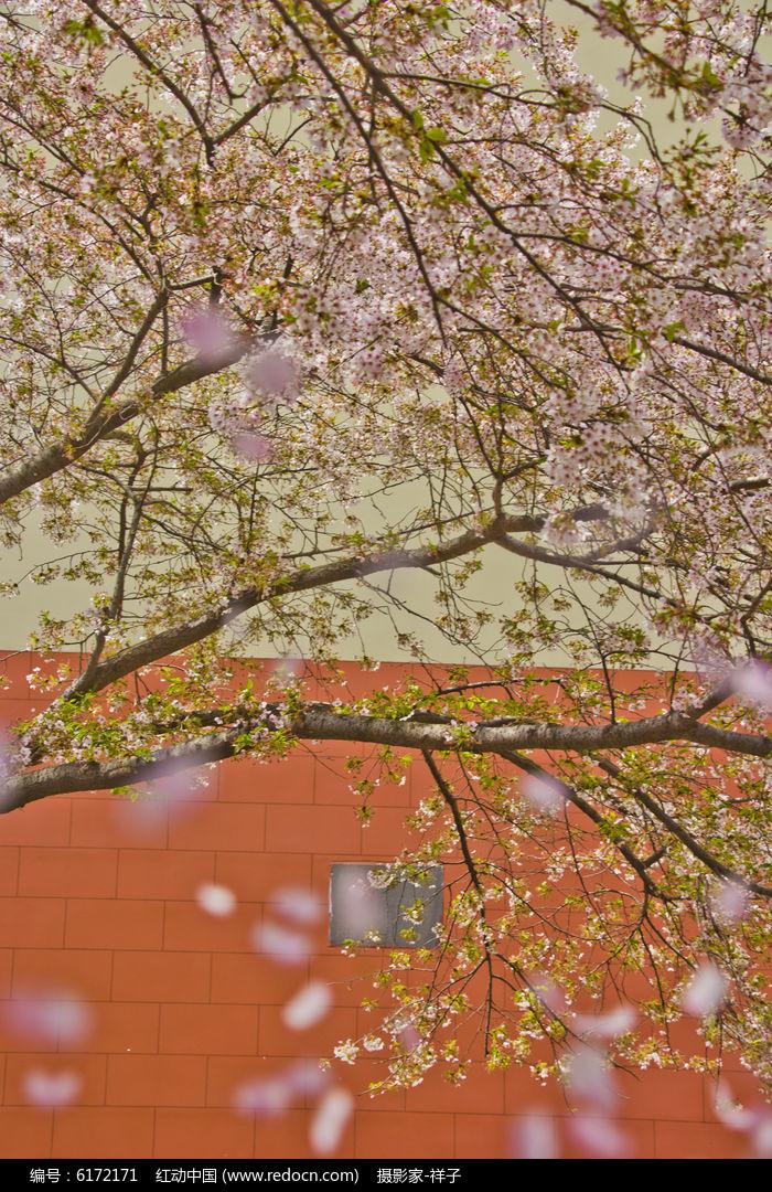 樱花树枝图片,高清大图