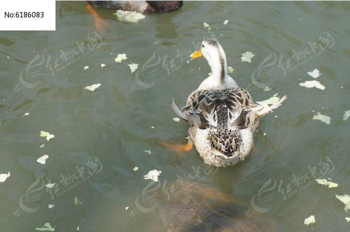 吃叶子的鸭子