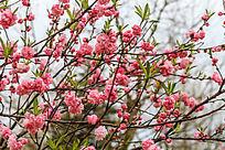 春天里桃花开满枝头