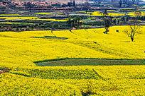 黄色的田野