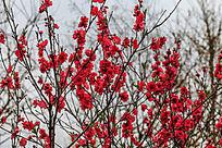 开满枝头的红色桃花