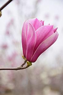 两朵盛开的望春