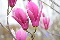 两朵盛开的紫玉兰