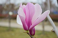 盛开的望春花