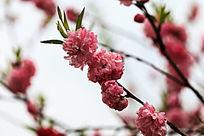 桃花开满枝头
