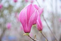 特写盛开的紫玉兰