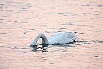 夕阳中天鹅水中觅食