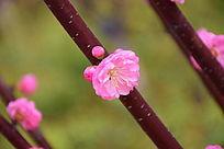 一朵盛开的桃花