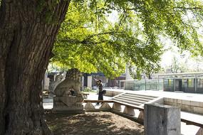 银杏树下石碑