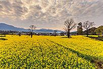 一片黄色的花海