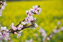 油菜花背景的桃花盛开