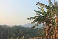 山头耸立的香蕉树