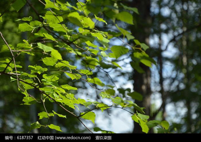 桦树叶子图片,高清大图_树木枝叶素材