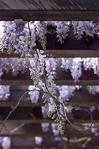 花架上垂挂的紫藤