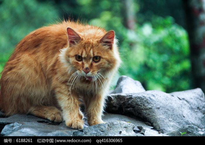老猫图片,高清大图_陆地动物素材