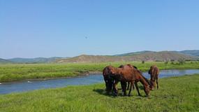 内蒙古马群