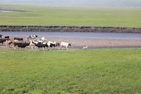 内蒙古牛群