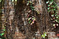 爬满藤蔓的墙