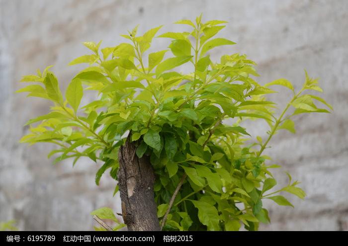 树根上新生的嫩叶高清图片下载 红动网