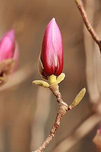 正欲开放的紫色玉兰花
