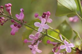 粉红色的四瓣花