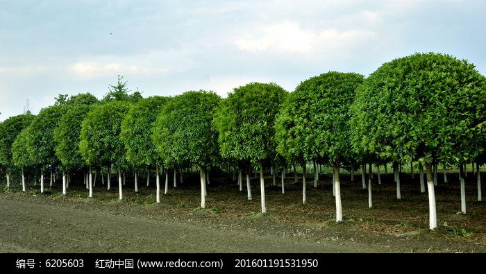 原创摄影图 动物植物 树木枝叶 香樟树  请您分享: 红动网提供树木