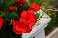 鲜红的玫瑰花