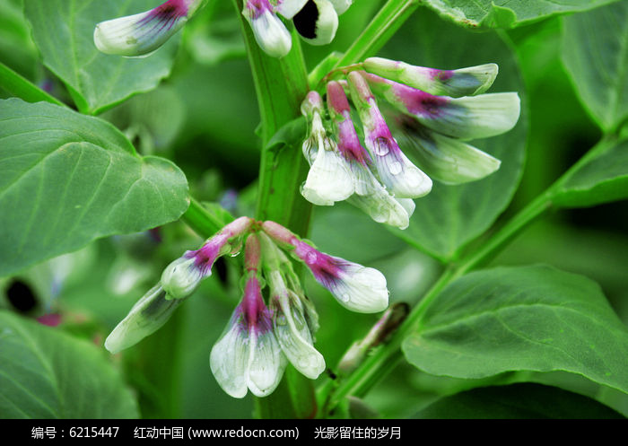 原创摄影图 动物植物 花卉花草 蚕豆花