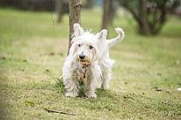 草地上白色的小狗