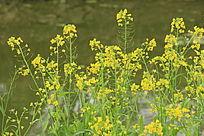 金色油菜花