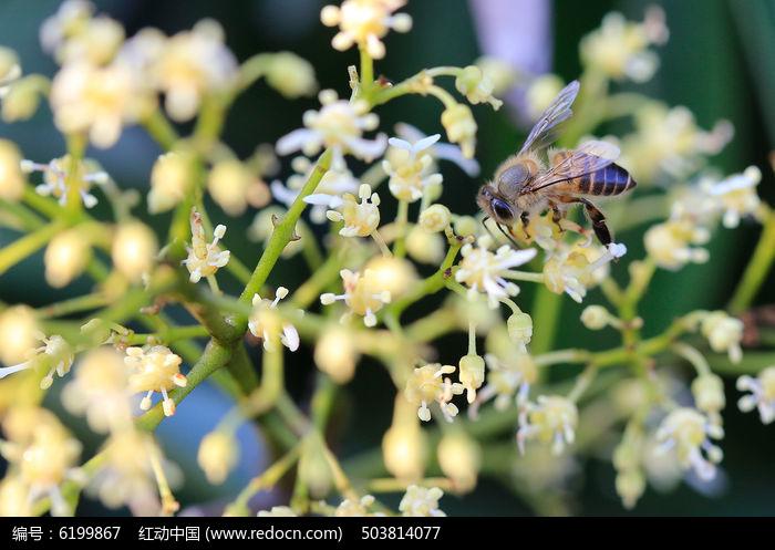 蜜蜂和荔枝花