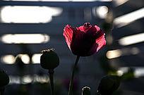 罂粟花逆光