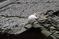 屋顶上的猫咪
