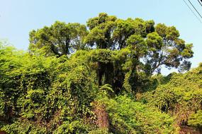 厦门郁郁葱葱的大榕树