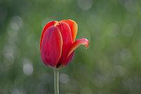 一朵红色郁金香
