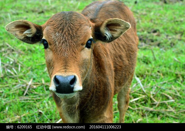 小牛图片,高清大图_陆地动物素材