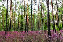 鹃花盛开的松林