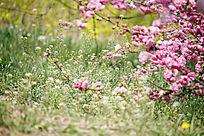 绿草地上的粉樱花