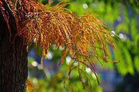 秋天的水杉