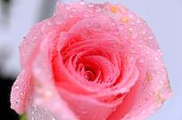 绽放的粉玫瑰