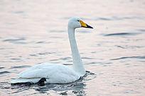 水中慢慢游动的野生天鹅