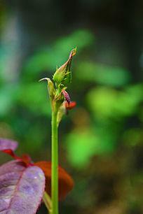 含苞待放的玫瑰花